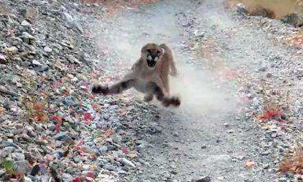 Un puma persigue amenazante a corredor durante seis minutos